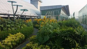 Sunflower garden at changi